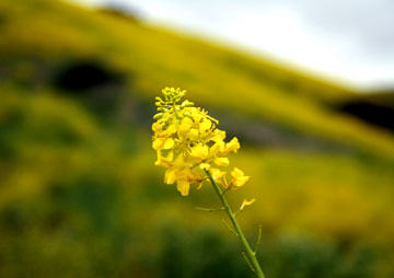 A mustard flower in Southern California
