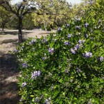 A blooming Texas Mountain Laurel plant in my front yard.