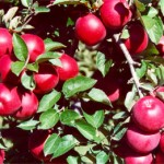 apples-on-tree-5
