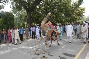 Dancing camel, sans leotard. By Drkashif7 (Own work) [CC BY-SA 3.0 (http://creativecommons.org/licenses/by-sa/3.0)], via Wikimedia Commons