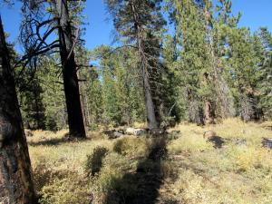 Wildfire damaged trees 1