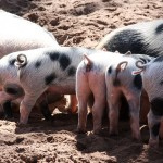 Voices from the fields: shoveling hog poop