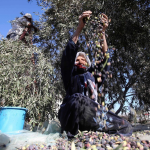 A woman sorts olives during the annual harvest in Khan Younis, Gaza Strip.