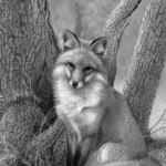 THE LIFE OF A WILD FOX: A Zen Koan for Our Times