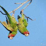 Parrots Over Long Beach