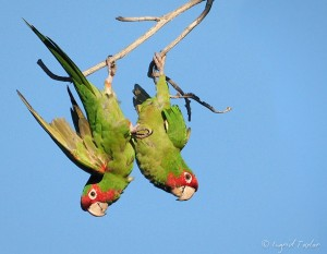 Parrots Over Long Beach James Ford