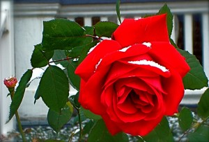 Snow on a Rose - Alison Leigh Lily (cc) 2009