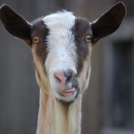 On Goats and Wasps: Ode to the Animals We Hate