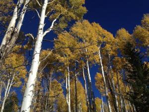 aspen-trees-_pd_