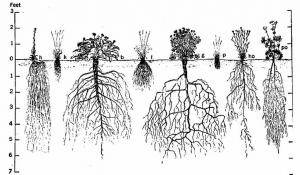 from: http://bugs.bio.usyd.edu.au/learning/resources/ plant_form_function1/plant_form/primary_roots.html
