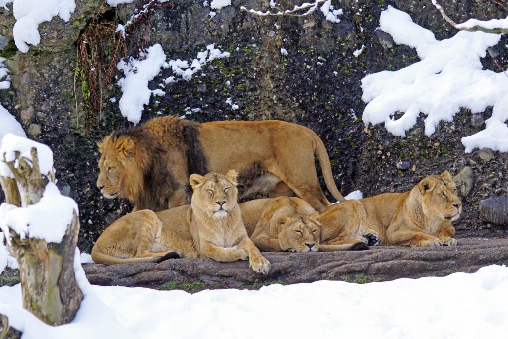 lion-1972786_1920