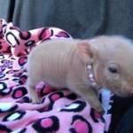 jeweled pig