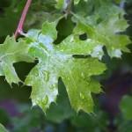 leaves-leaf-raindrops-300x225