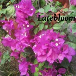 latebloomer