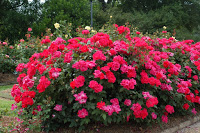 knockout-rose-shrub-large