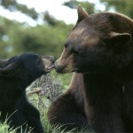 a black bear and mother By beingmyself http://www.flickr.com/photos/20406121@N04/2221354997/