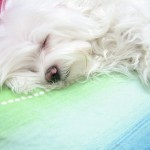 800px-Maltese_dog_named_Pofak