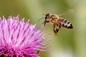 Honeybee landing on milkthistle by Fir0002 Licensed under GNU Free Documentation License 1.2