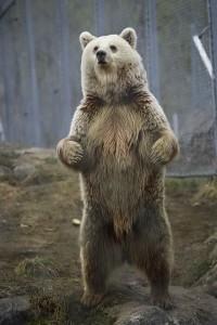 Brown Bear classification Ursa arctos by Taral Jansen. Creative Commons 2.0