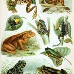 A variety of frogs by unknown and in the public domain.