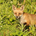 Help Britain's Foxes! Speak Out Against Fox Hunting