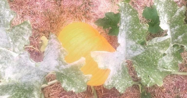 Actual pumpkin growing in my backyard.