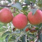 800px-Sampion_cultivar