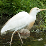 western_cattle_egret___stock_by_forestwanderers-d7xekmj