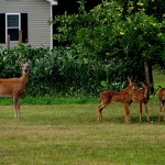 800px-EASTERN_WHITETAIL_DEER_-_DOE_AND_THREE_FAWNS_AT_BACKYARD_APPLE_TREE
