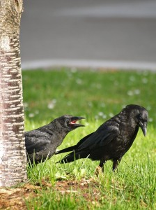 """American Crow and Fledgling"" by Ingrid Taylar from San Francisco Bay Area - California, USA - American Crow and Fledgling. Licensed under CC BY 2.0 via Wikimedia Commons"