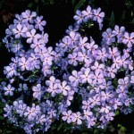 Where the Wild Phlox Are