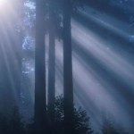 Redwood_sunlight