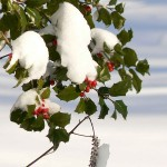 800px-Holly_berries_in_snow