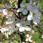 Spring-Apple-Blossom_Tree-Branches-with-Flowers__IMG_3378-580x386