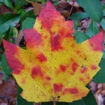 Autumn leaf  (c) 2012 Phil Fox Rose