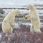 alexey-tishchenko-polar bears-1-featured