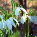 © 2010 Phil Fox Rose Snowdrops in Central Park -- the first wildflower to appear around here each year