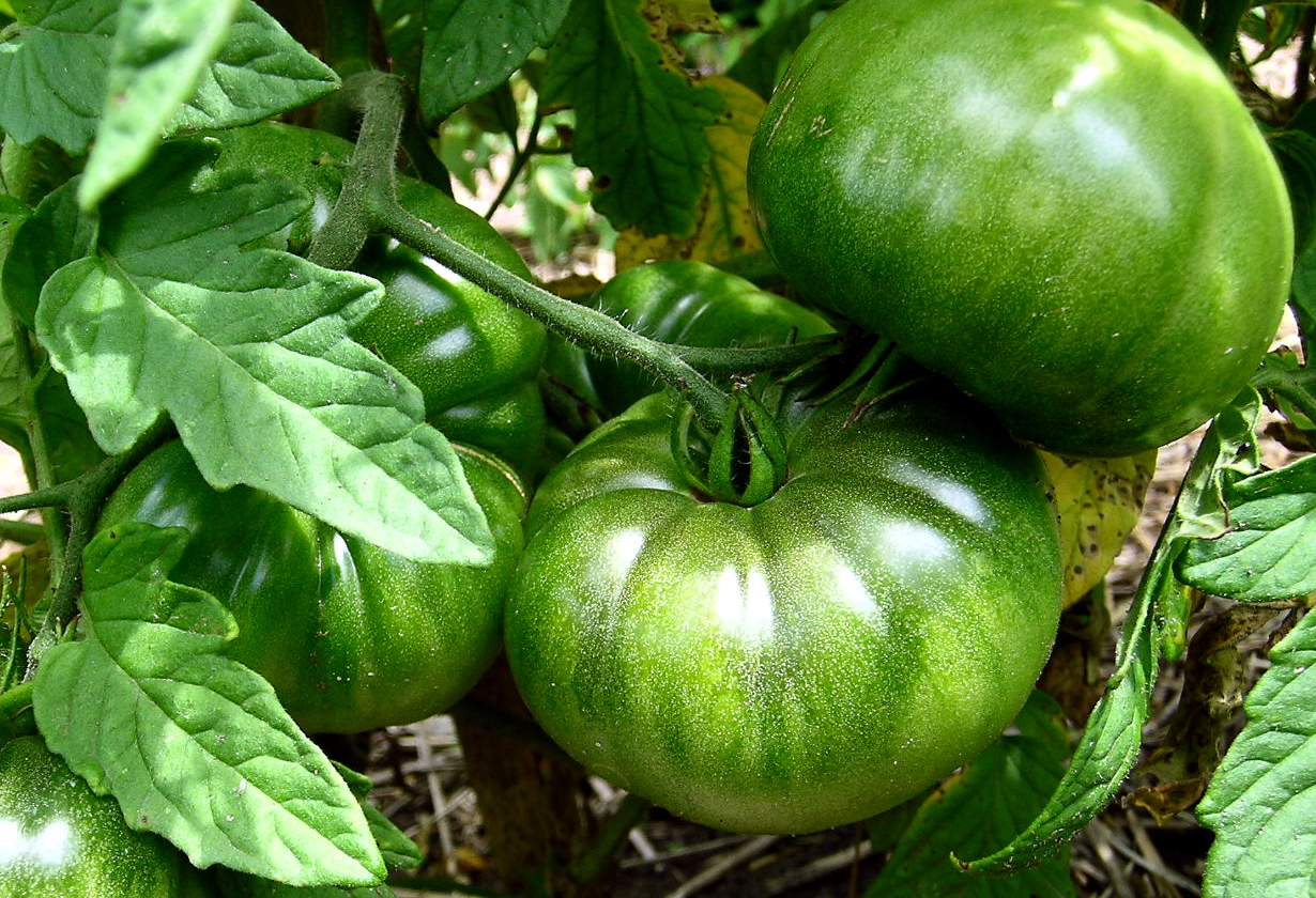 how to ripen green tomatoes indoors margaret rose realy obl osb. Black Bedroom Furniture Sets. Home Design Ideas