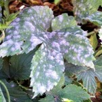 Powdery Mildew on my Veggies?! Practical Gardening Series