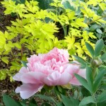 Peony and bleeding heart