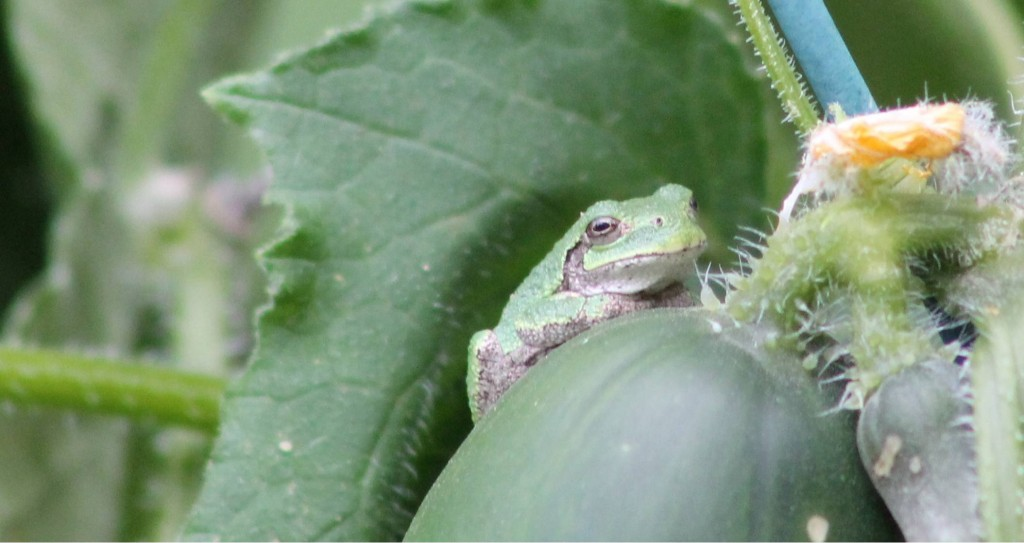 Frog on Cucumber