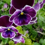 Fall Blooming Pansies, Practical Gardening