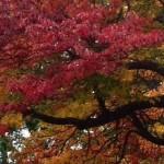 lindas oak