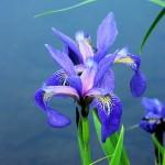 PICT2587 iris