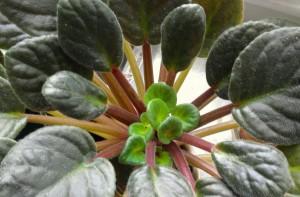 Violet new leaves