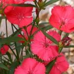 file0001405663451 carnation
