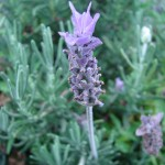 file0001484766303 lavender