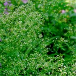 file0001673080711 sweet woodruff