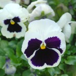 file6971301019924 Pansy