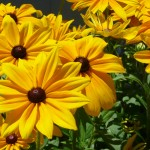 file7651243141762 black eye susan
